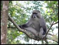 Male Samango Monkey