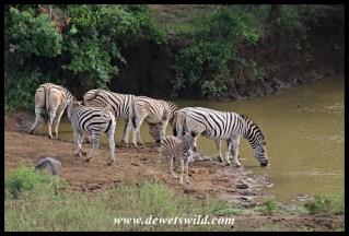 Plains Zebras drinking at Zincakeni Dam