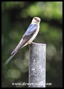 Lesser Striped Swallow bringing mud to build its nest on the veranda of Thendele's unit 27