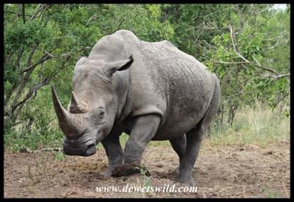 White Rhino Territorial Demarcation