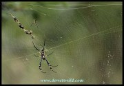 Golden Orb-wb Spider - the female is considerably larger than the male