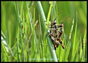 Grasshopper embrace