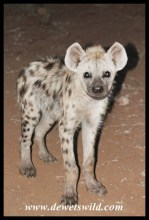 Spotted Hyena youngster