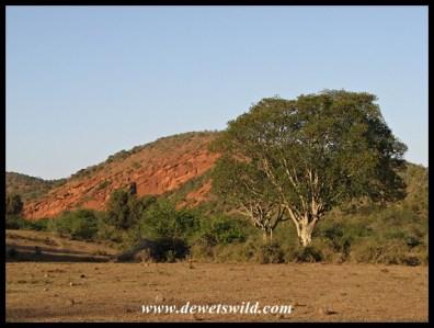 The scenery around Nyathi is quite different from the Spekboom-dominated vegetation around Addo's main camp