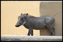 Warthog youngster in Skukuza