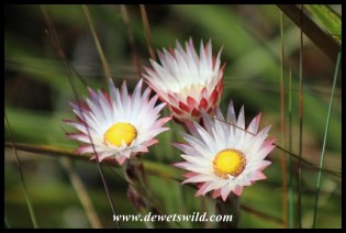 Wildflowers abound in the Drakensberg