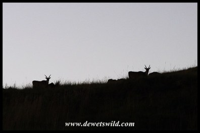 Silhouetted Eland