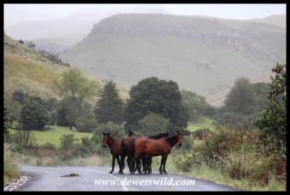 The rangers' horses huddled together on a cold morning