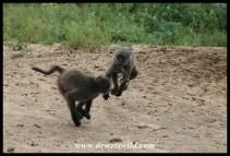 Playful baboons at Kumasinga