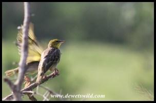 Lesser Masked-Weaver