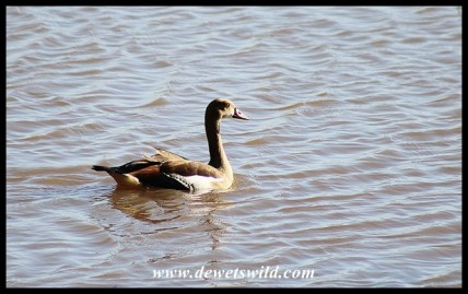 Egyptian Goose at Nsumo Pan