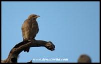 Wattled Starling
