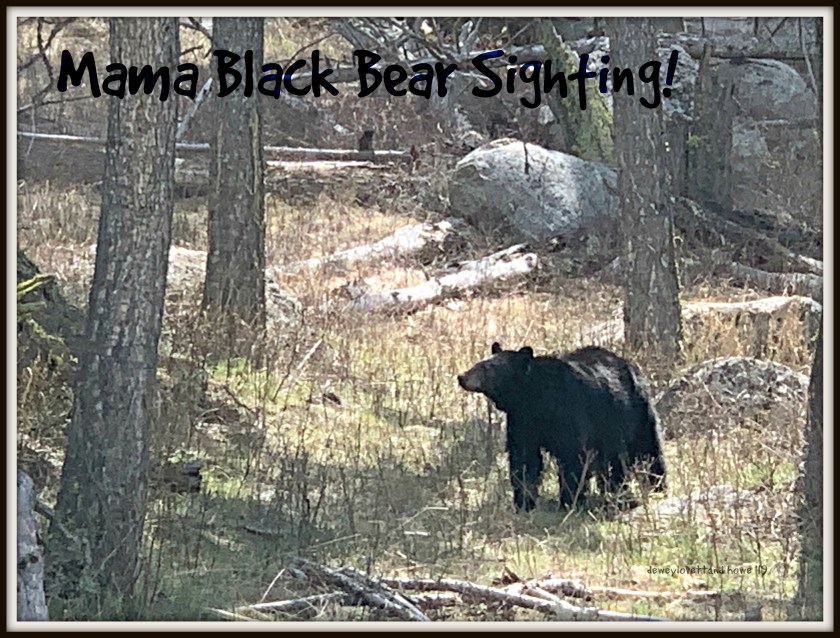 Our one and only black bear sighting in Yellowstone!