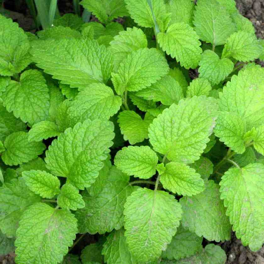 Balm Mint (Melissa Officinalis)-Noctalean Reviews
