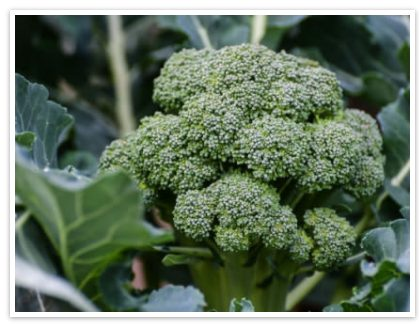 Broccoli Leaf Extract