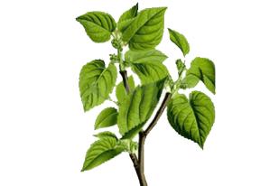 Blood Sugar Blaster Ingredient-White Mulberry Leaf