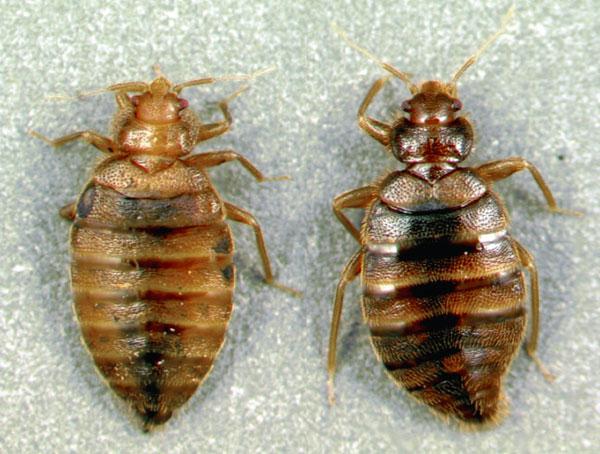 ความแตกต่างทางเพศใน Bed Bugs สามารถพิจารณาได้แม้จะมีตาเปล่า