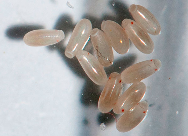 Жұмыртқалардың ішінде сіз личинкалардың денесінің бір бөлігін ажырата аласыз.