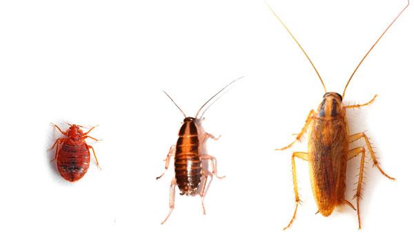 Солдан оңға қарай: BENPOP, Nymph Red Cockroacan, ересектер қызыл түсті тарақан.