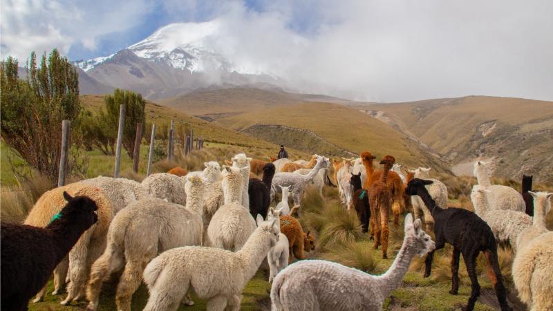 Keine bodenschädigenden Hufe, umweltverträglicheres Fressverhalten und feinere Wolle: Alpakas haben viele Vorzüge gegenüber Schafen, was auch die Alpakahaltung in Ecuador wieder in Schwung gebracht hat.