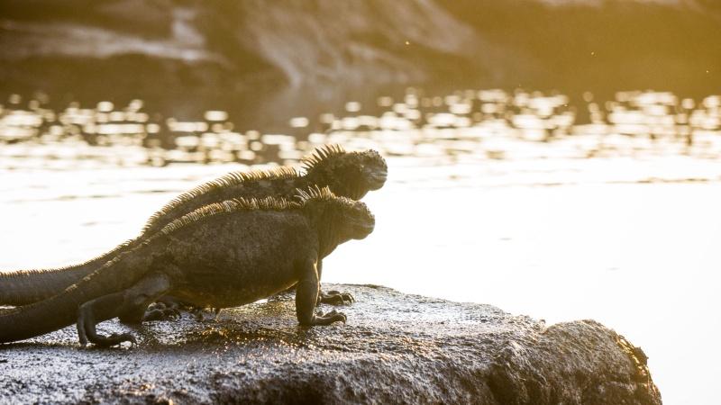 Die Echsen auf Galapagos sind ein tolles Beispiel dafür, wie sich Lebewesen im Lauf der Zeit ihrer Umgebung anpassen.