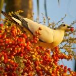 Pied (Torresian) Imperial-Pigeon Ducula bicolor, 2, Bob Gosford