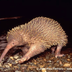 Long-beaked-echidna-Zaglossus-bruijnii-walking-over-pebbles (1)