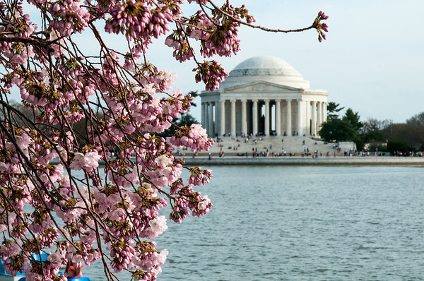 photo of Cherry blossoms and the Jefferson Memorial