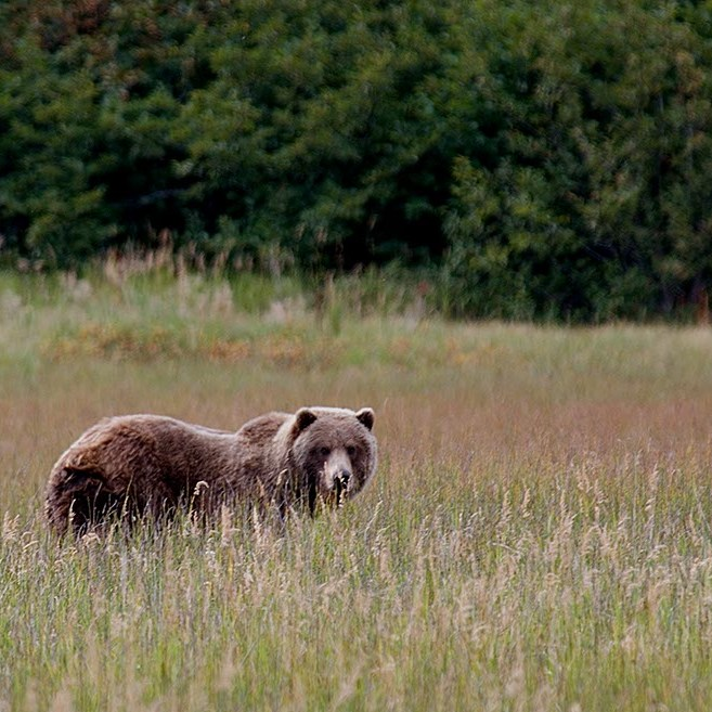 A lone brown bear in a field of tall grass.