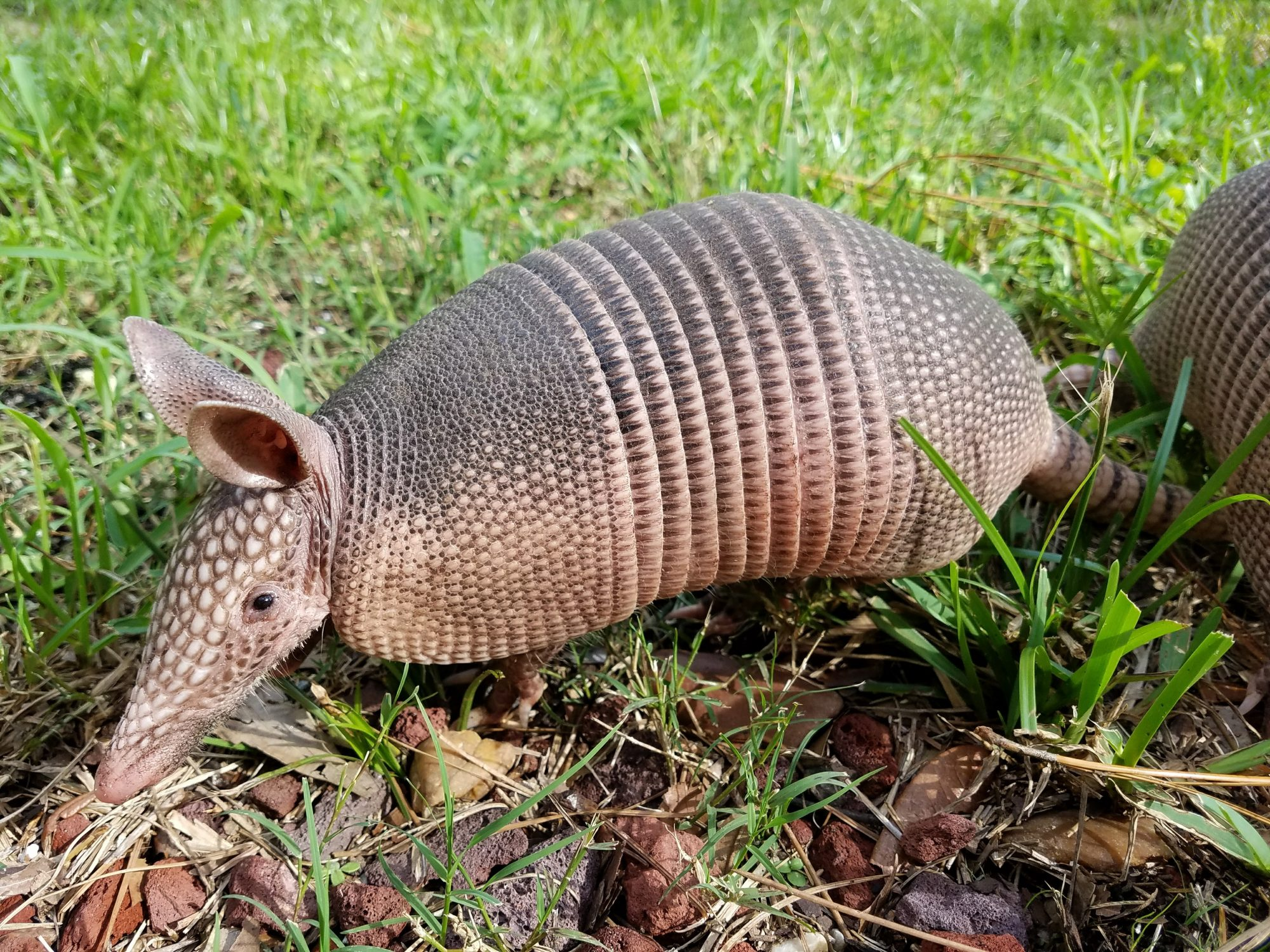 armadillos dfw wildlife organization