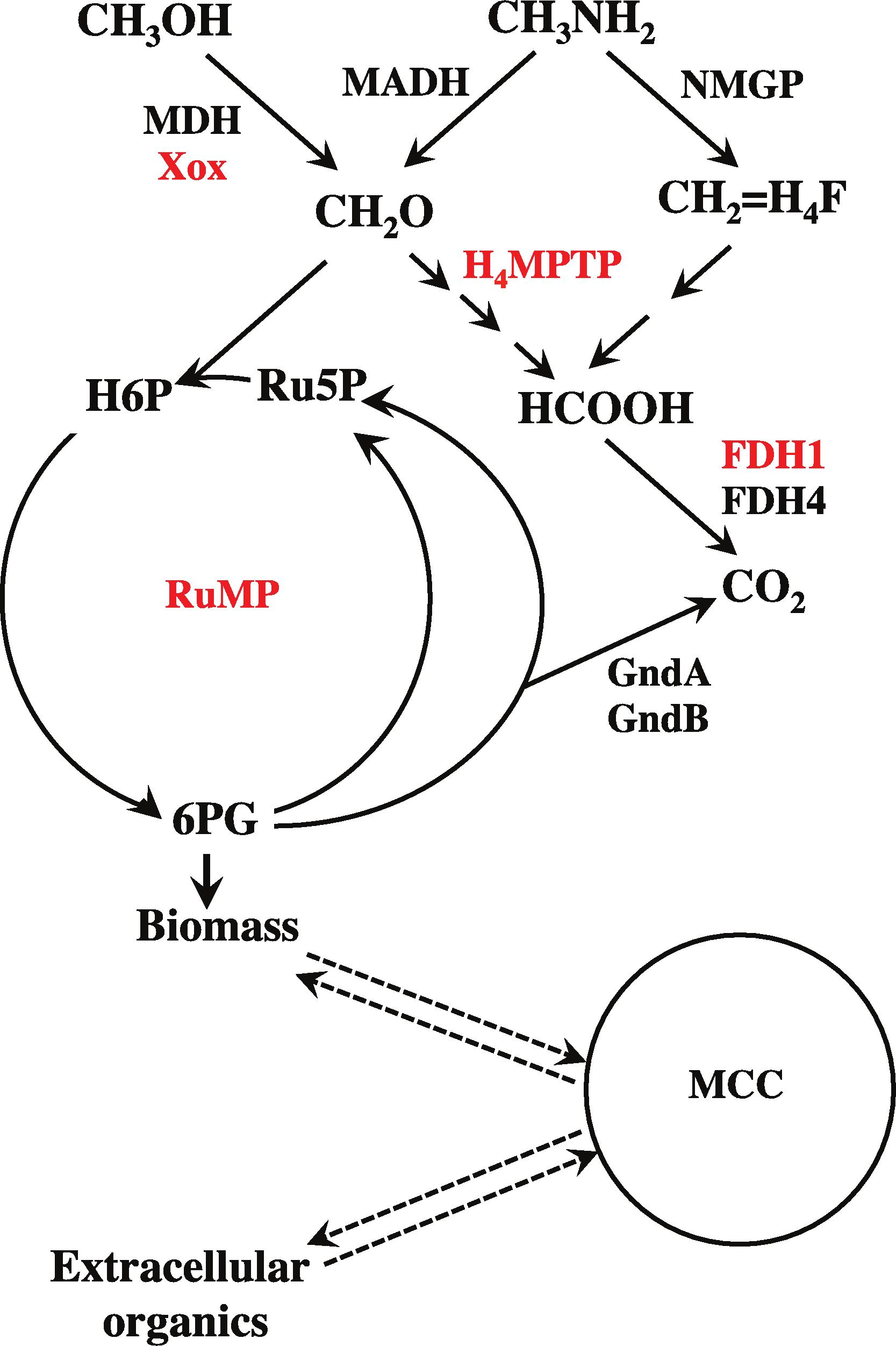 Comparative transcriptomics in three Methylophilaceae