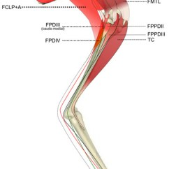 Chicken Muscle Diagram Hss Wiring Ontogenetic Scaling Patterns And Functional Anatomy Of The Pelvic Limb Musculature In Emus ...