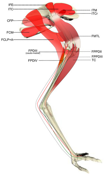 chicken muscle diagram ford mondeo car stereo wiring ontogenetic scaling patterns and functional anatomy of the pelvic limb musculature in emus ...