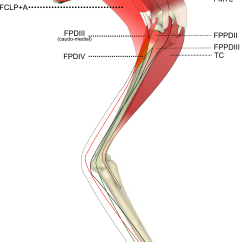 Medial Lower Leg Muscles Diagram Wiring For Liftmaster Garage Door Opener Ontogenetic Scaling Patterns And Functional Anatomy Of The Pelvic Limb Musculature In Emus ...