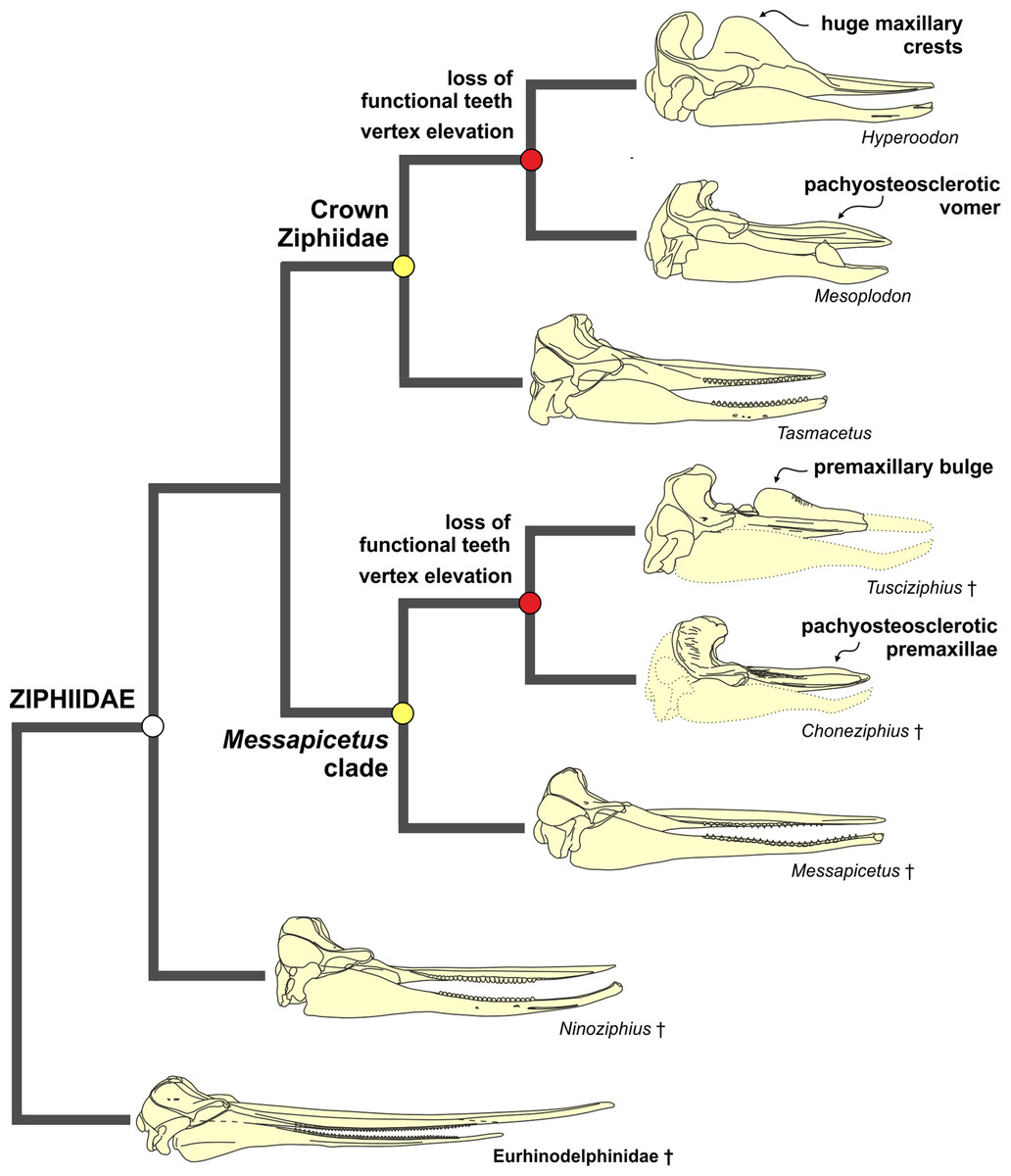 New Beaked Whales From The Late Miocene Of Peru And
