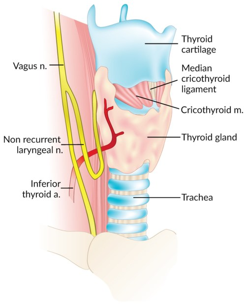 small resolution of looping course of a right non recurrent laryngeal nerve