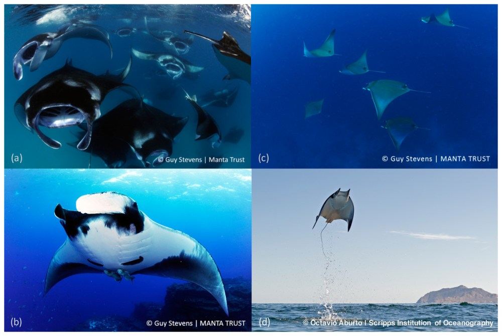 medium resolution of sympathy for the devil a conservation strategy for devil and mantaimages of devil and manta rays