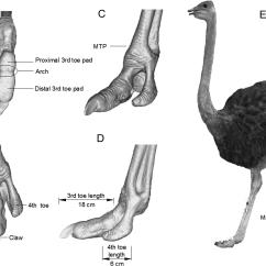 Ostrich Skeleton Diagram 5 7 Pin Trailer Plug Wiring Plantar Pressure Distribution Of During Locomotion On Loose Download Full Size Image