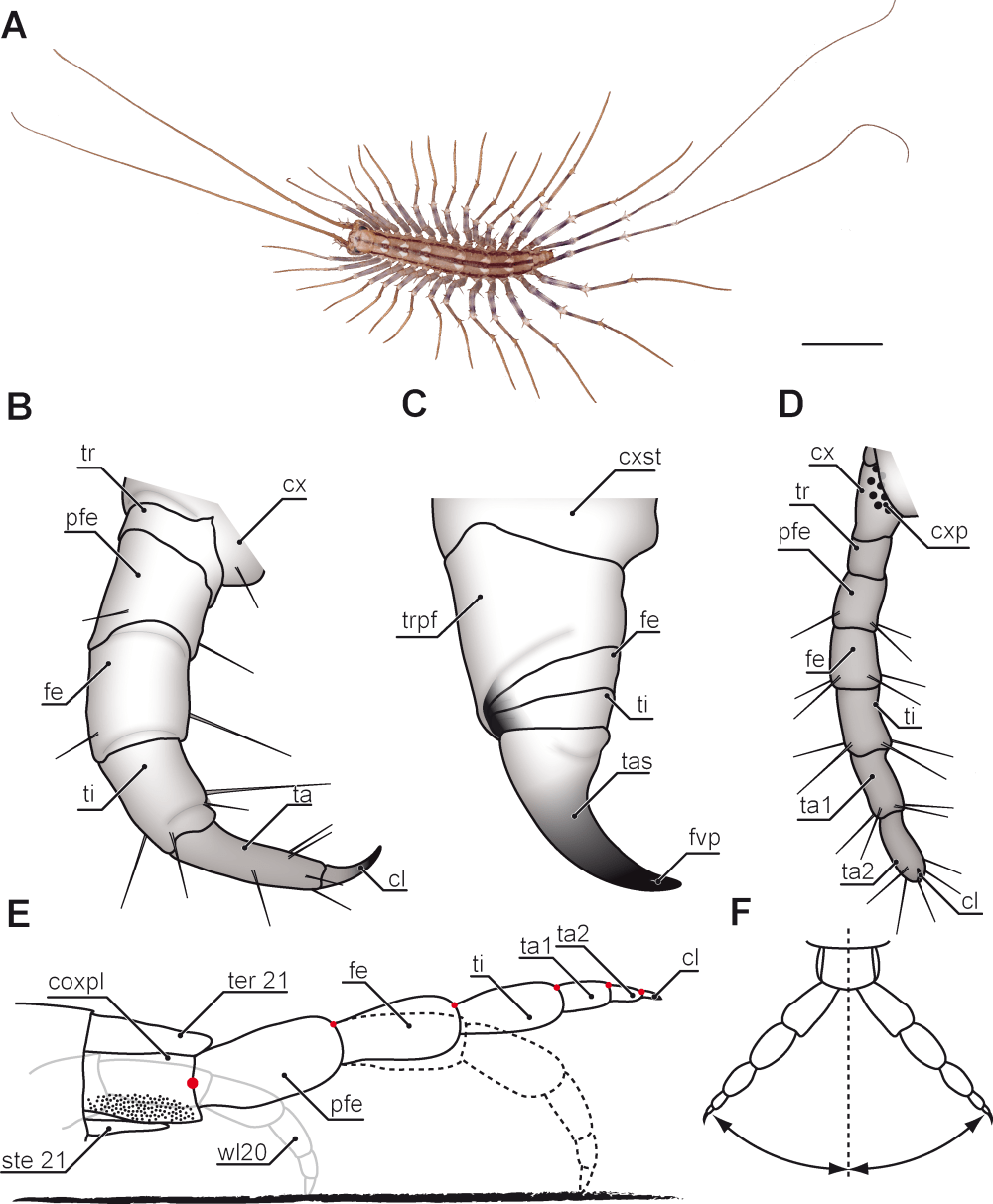 medium resolution of the ultimate legs of chilopoda myriapoda a review on their centipede anatomy diagram human centipede diagram