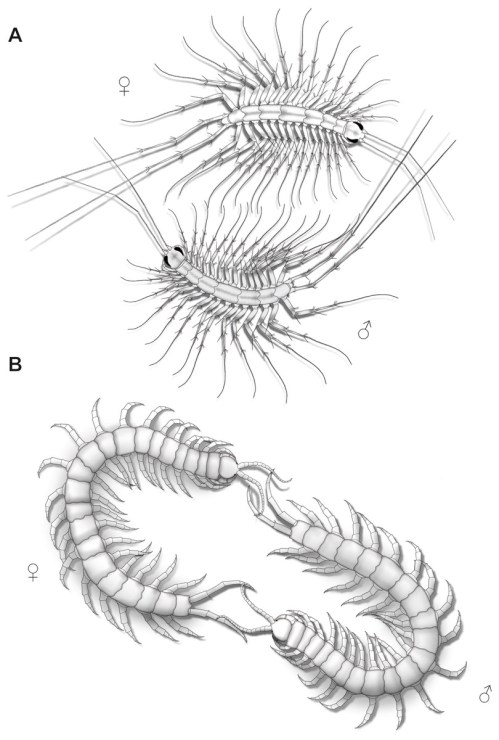 small resolution of aspects of ultimate legs during courtship behavior