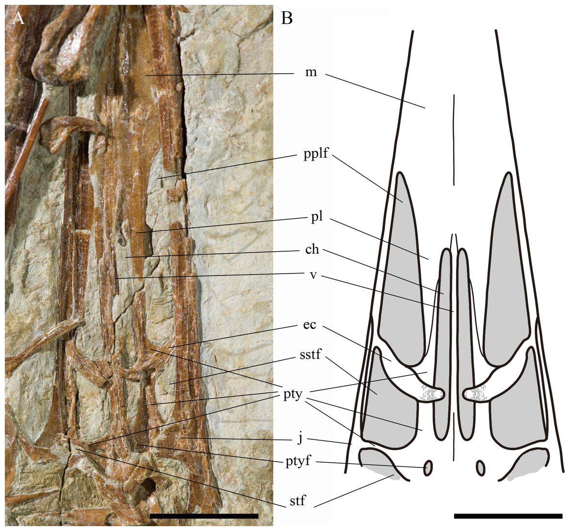 New anatomical information of the wukongopterid Kunpengopterus sinensis Wang et al.. 2010 based on a new specimen [PeerJ]