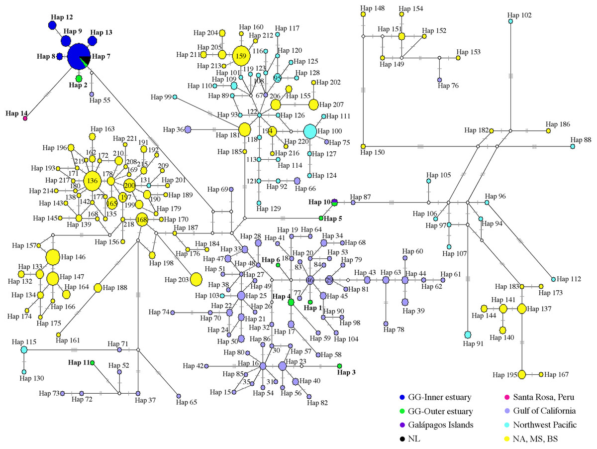 hight resolution of median joining network of common bottlenose dolphin mtdna cr