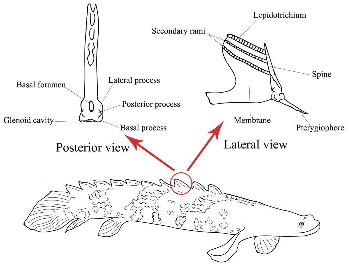 Morphological Variations In The Dorsal Fin Finlets Of Extant Polypterids Raise Questions About