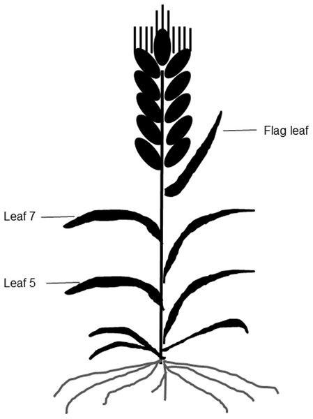 Leaf photosynthetic function duration during yield