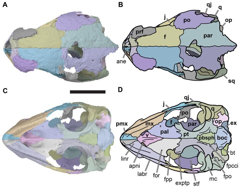 medium resolution of illustration based on a diagram by lehman marks phd used with anatomy of rhinochelys pulchriceps