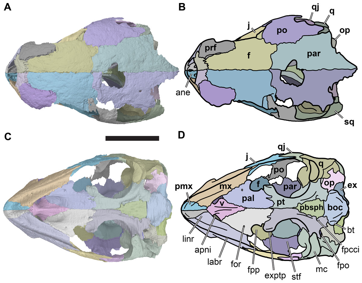 hight resolution of illustration based on a diagram by lehman marks phd used with anatomy of rhinochelys pulchriceps