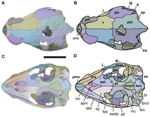 small resolution of illustration based on a diagram by lehman marks phd used with anatomy of rhinochelys pulchriceps