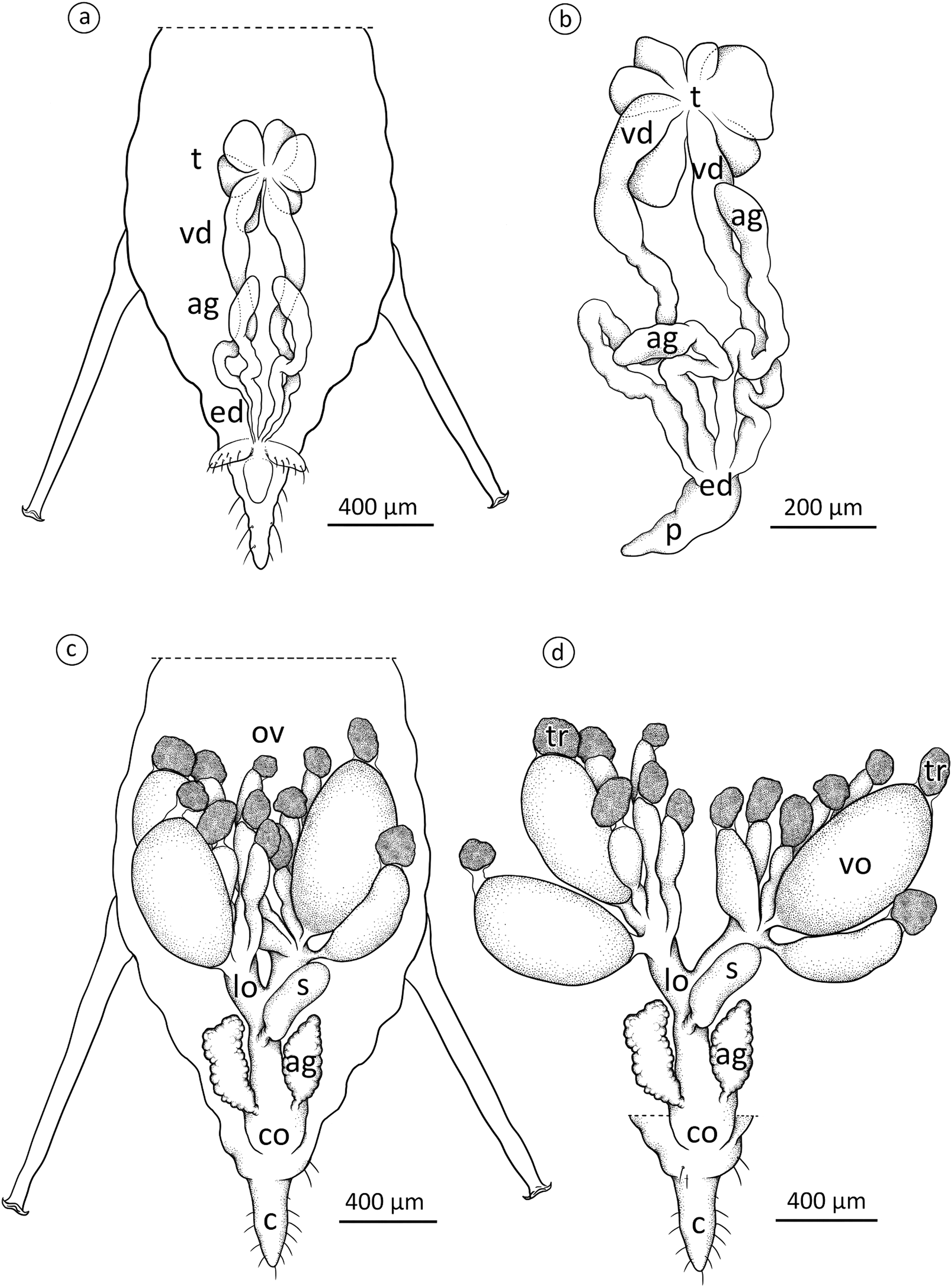 The reproductive system of the male and oviparous female