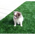 Pomsky puppies for sale in tennessee pomsky puppies gallery