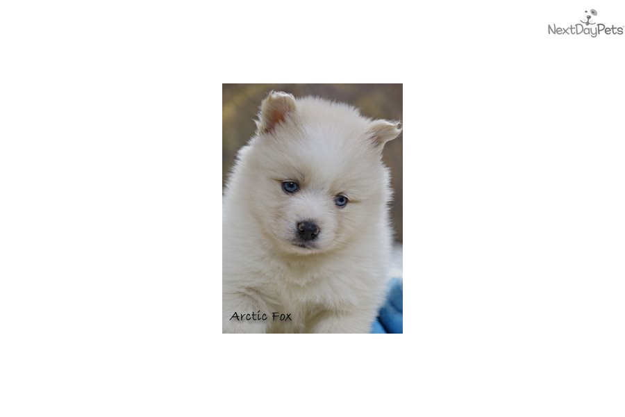arctic fox pomsky puppy